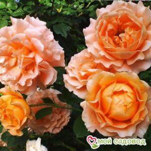 Роза Полька в Арамилье