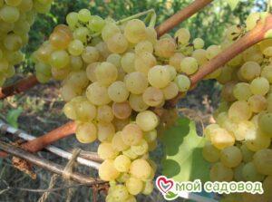 Виноград Лорус в Арамилье