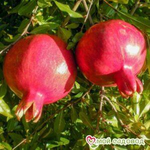 Гранат Гюлоша розовая в Арамилье