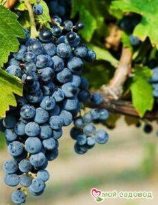 Виноград Одесский черный в Арамилье