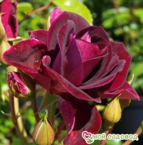 Роза Бургунди Айс в Арамилье