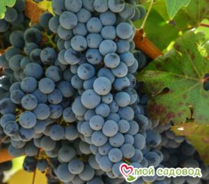Виноград Каберне Совиньон в Арамилье