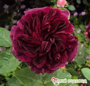 Роза Манстед Вуд в Арамилье
