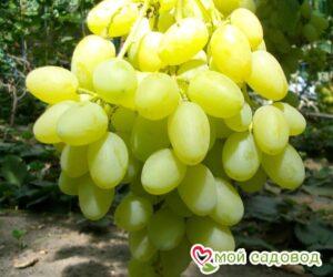 Виноград Ландыш в Арамилье