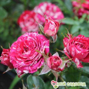 Роза Арау Фолиес в Арамилье