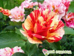 Роза Эдгар Дега в Арамилье