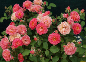 Роза Лес Потес де Бедрос в Арамилье