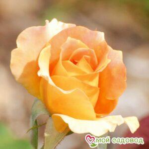 Роза Сара в Арамилье