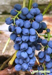 Виноград Магия в Арамилье