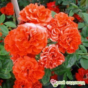 Роза Оранж Санблейз в Арамилье