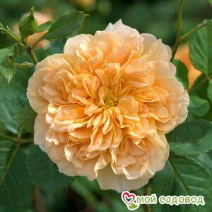 Роза Ти Клиппер в Арамилье