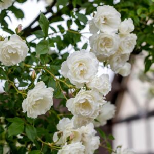 Роза Айсберг в Арамилье
