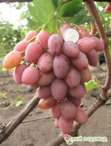 Виноград Днестровский розовый в Арамилье