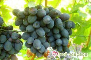 Виноград Руслан в Арамилье