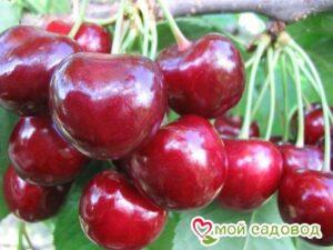 Вишня Эрди крупноплодная в Арамилье