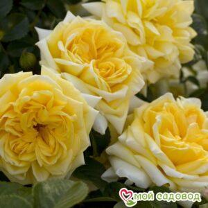 Роза Надя Мейдиланд в Арамилье