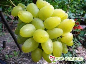 Виноград Бажена в Арамилье
