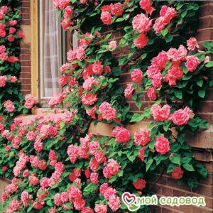 Роза Барби в Арамилье