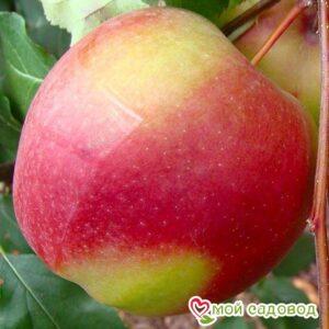 Яблоня Лигол в Арамилье