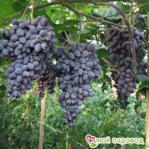 Виноград Гала в Арамилье