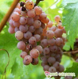 Виноград Черсеги в Арамилье