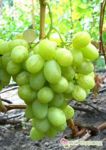 Виноград Валек мускатный в Арамилье