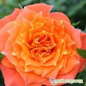 Роза Мандарин в Арамилье