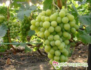 Виноград Королева вин в Арамилье