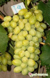 Виноград Вега Запорожская в Арамилье