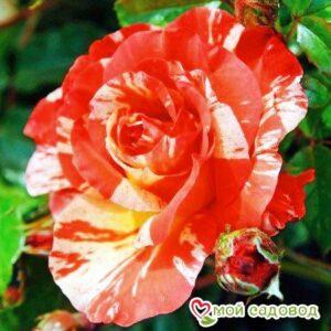 Роза Поль Гоген в Арамилье