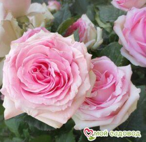 Роза Мими Эден в Арамилье
