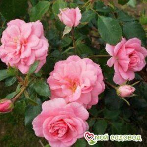 Роза Мирато в Арамилье