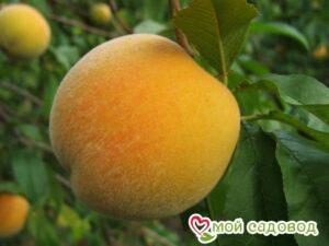 Персик Донецкий желтый в Арамилье