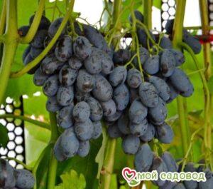 Виноград Блэк гранд в Арамилье