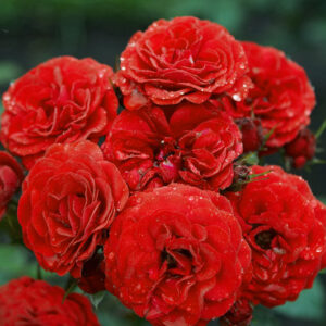 Роза Кордула в Арамилье
