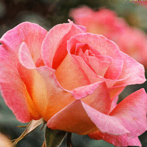 Роза Пинк в Арамилье