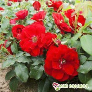 Роза Центро-Розе в Арамилье