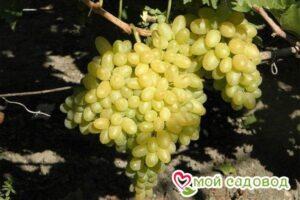 Виноград Столетие в Арамилье