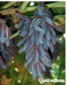 Виноград Чёрный палец в Арамилье