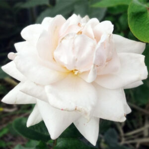Роза Лебединое озеро в Арамилье