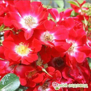 Роза Руж Мейяндекор в Арамилье