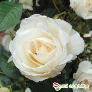 Роза Спрей белый в Арамилье