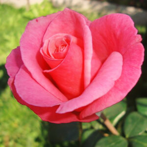 Роза Карина в Арамилье