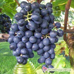Виноград Мускат Блау в Арамилье