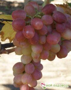 Виноград Мускат Лакомка в Арамилье