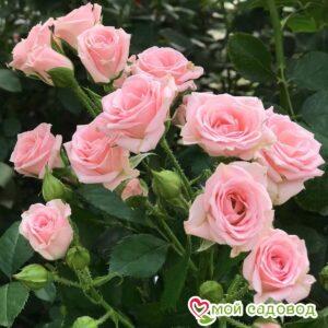 Роза спрей Лидия в Арамилье