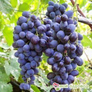 Виноград Мускат днестровский в Арамилье