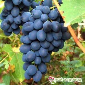 """Ароматный и сладкий виноград """"Августа"""" в Арамилье"""