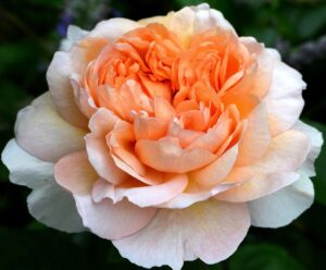 Роза Леди Гарденер в Арамилье