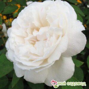 Роза Винчестер Кафедрал в Арамилье